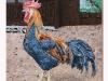 Il gallo, olio su tela, cm.50x50, 2021